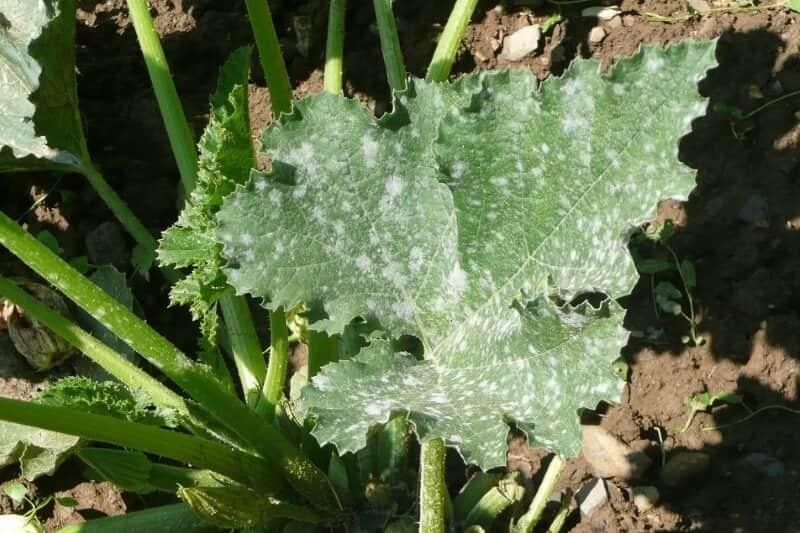 por que salen manchas blancas en las hojas de las plantas y como eliminarlas