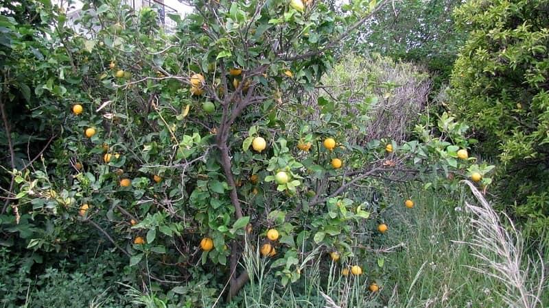 citrus limon jardin