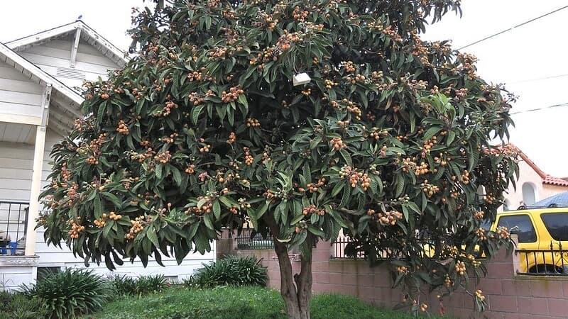 eriobotrya japonica arbol para jardin
