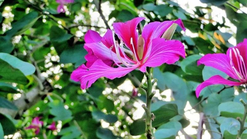 mejor árbol para un jardín bauhinia variegata