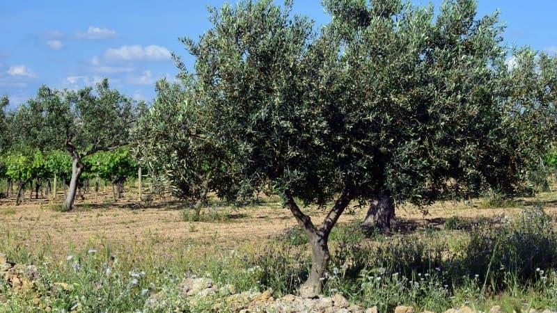 olivo mejor árbol jardín pequeño