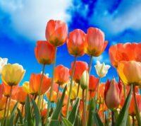 ¿Cómo sembrar y plantar tulipanes en un jardín o en una maceta?