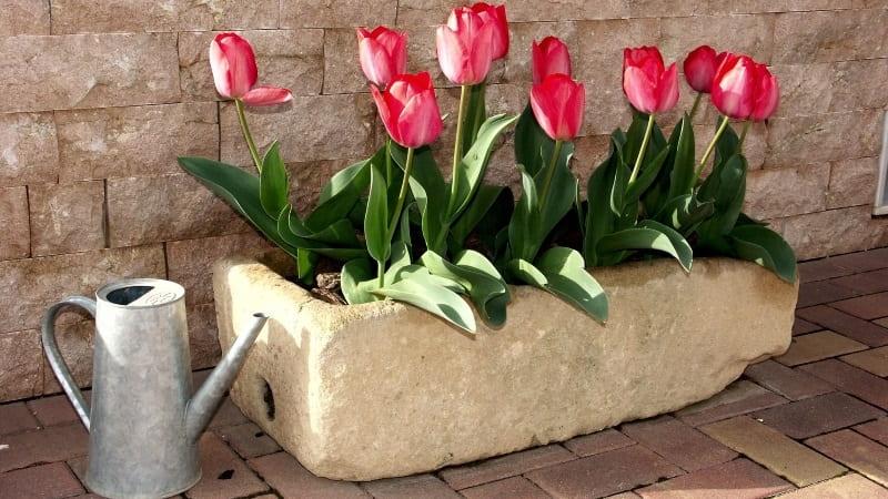 sembrar y plantar tulipanes