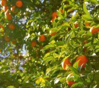 ¿Cómo cultivar y plantar un árbol mandarino en tierra o maceta?