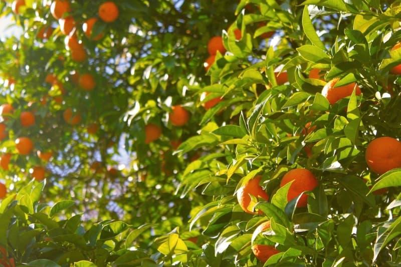 cómo cultivar y plantar un árbol mandarino