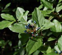 ¿Qué es el durillo o laurel salvaje y cuáles son las propiedades de esta planta?