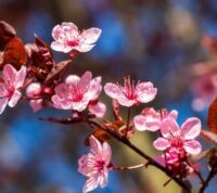 ¿Qué es el ciruelo rojo o prunus pisardi y qué cuidados necesita este árbol?