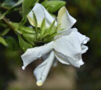 ¿Cómo cuidar una gardenia jasminoides y qué necesita esta planta?