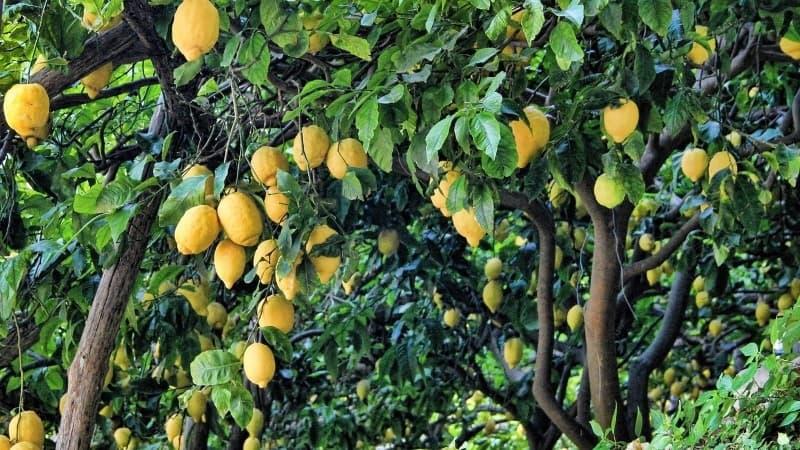 limonero jardín mediterráneo