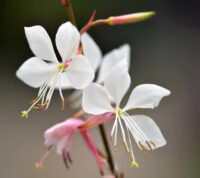 ¿Qué es la planta gaura lindheimeri y qué cuidados necesita?