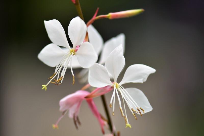 Qué es la planta gaura lindheimeri