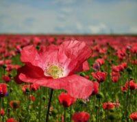 ¿Cuáles son los usos y los beneficios medicinales de la planta amapola?