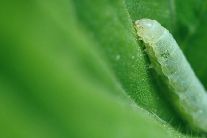 qué es el gusano de geranio