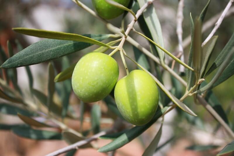 qué es el hongo repilo del olivo