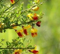 ¿Qué es la Retama de Olor y Cómo Cuidar esta Planta en tu Jardín?