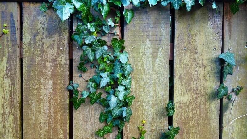 hiedra planta colgante de exterior