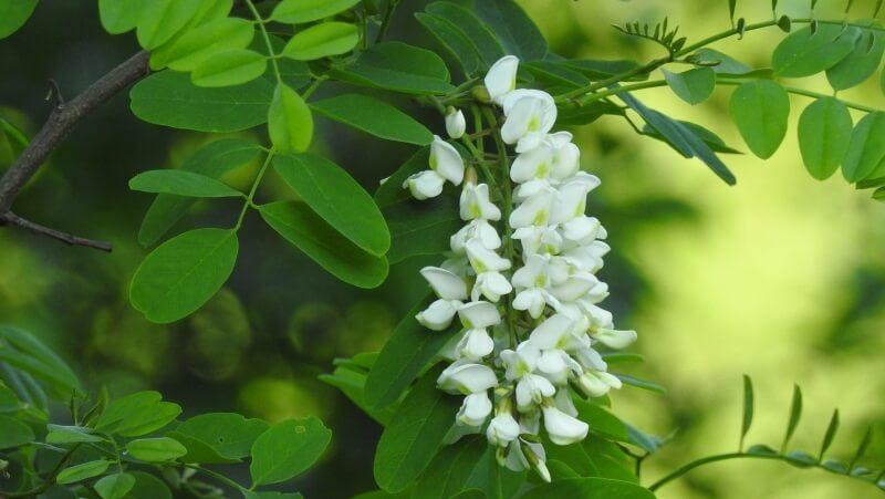 acacia decurrens árboles de hoja perenne
