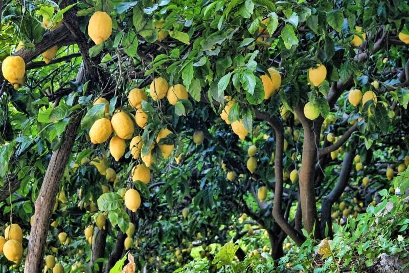 enfermedades del árbol limonero