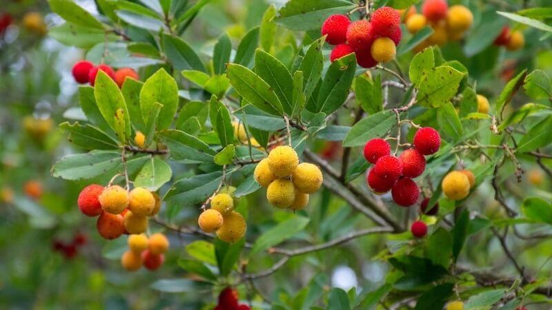 madroño árbol de hoja perenne