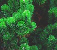 Los 10 mejores árboles de hoja perenne para plantar en tu jardín
