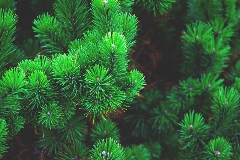 mejores árboles de hoja perenne