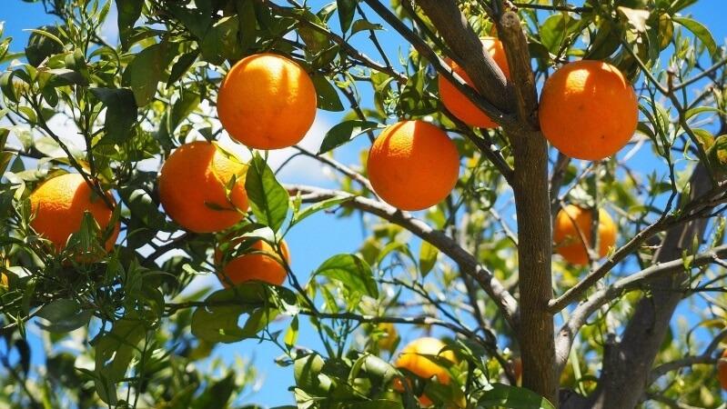 naranjo árbol perenne