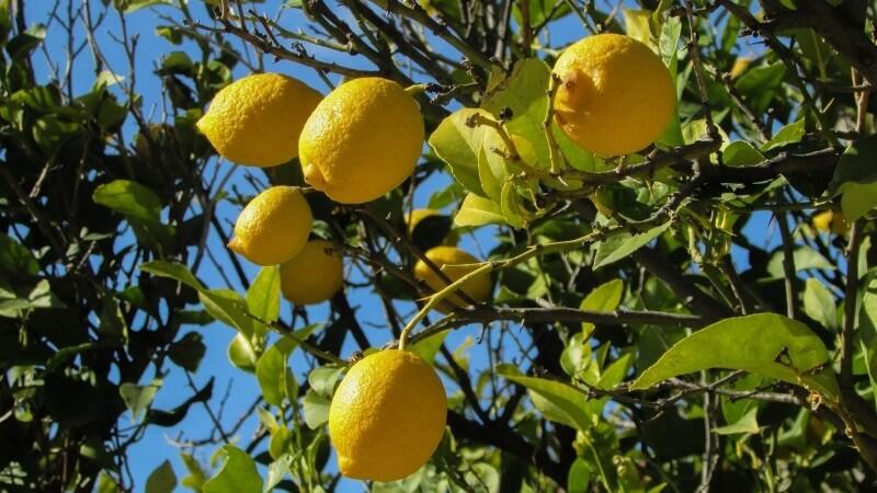 plagas limonero