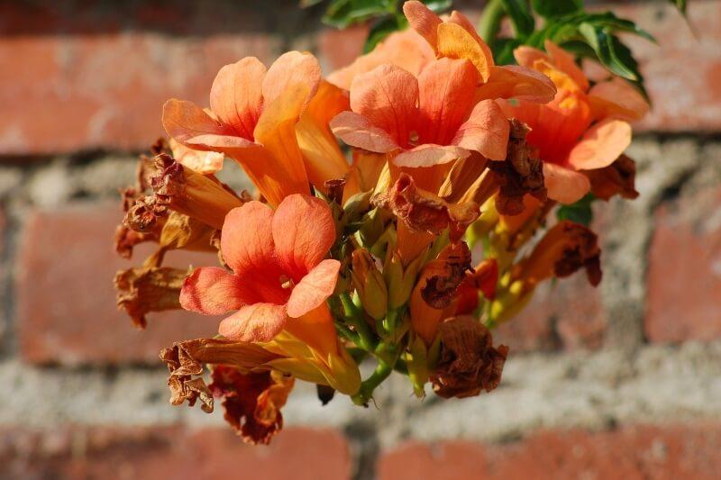características y cuidados de la planta bignonia