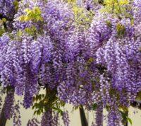 Propiedades de la Planta Glicinia o Wisteria Sinensis y sus Cuidados